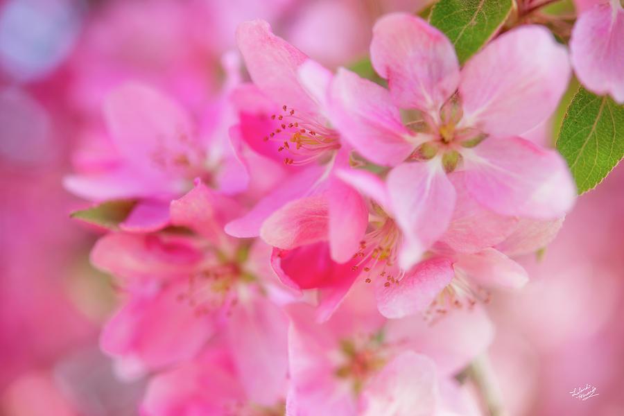 Apple Photograph - Apple Blossom 5 by Leland D Howard
