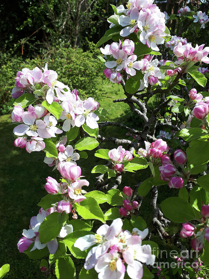 Apple Blossom Bursting Out by Brenda Kean