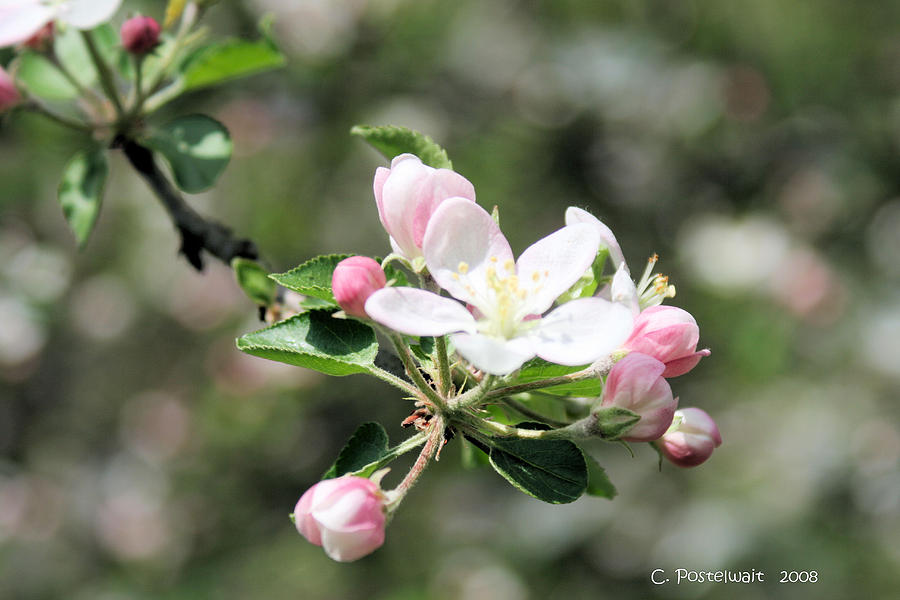 Apple Trees Photograph - Apple Blossom by Carolyn Postelwait