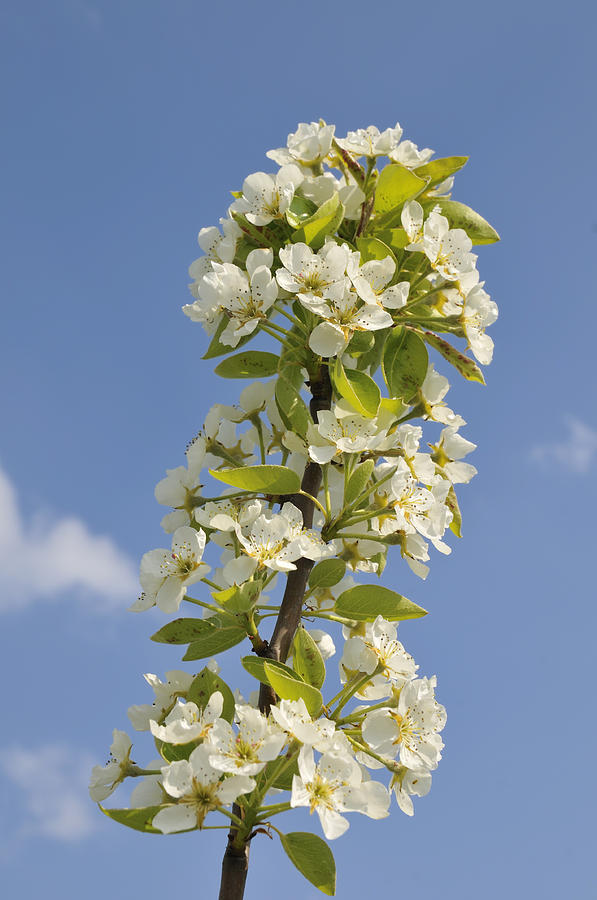 Apple Blossom In Spring Photograph