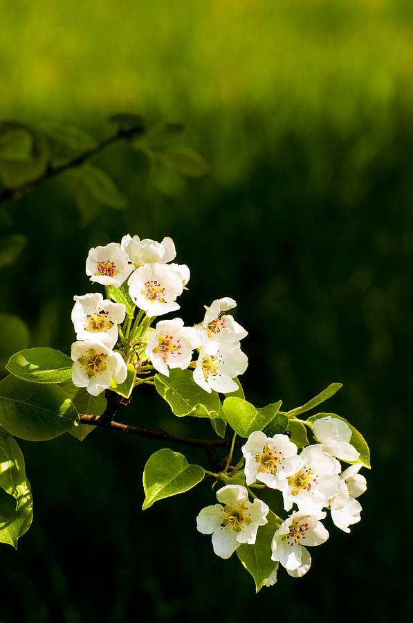 Apple Blossom In Spring White Green Black Colors Photograph