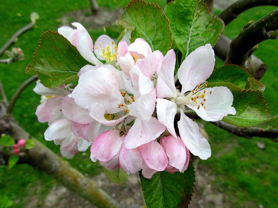 Apple Blossom Photograph - Apple Blossom by Joyce Woodhouse