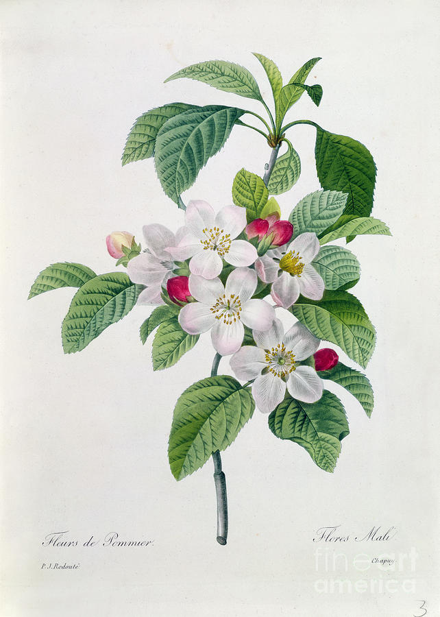 Apple Painting - Apple Blossom by Pierre Joseph Redoute
