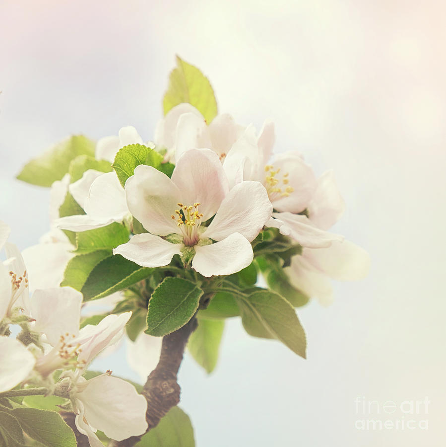 Apple Photograph - Apple Blossom Retro Style Processing by Jane Rix