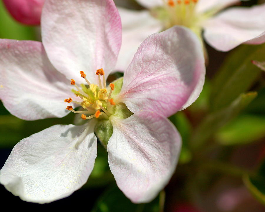 Apple Photograph - Apple Blossom by Scott Gould