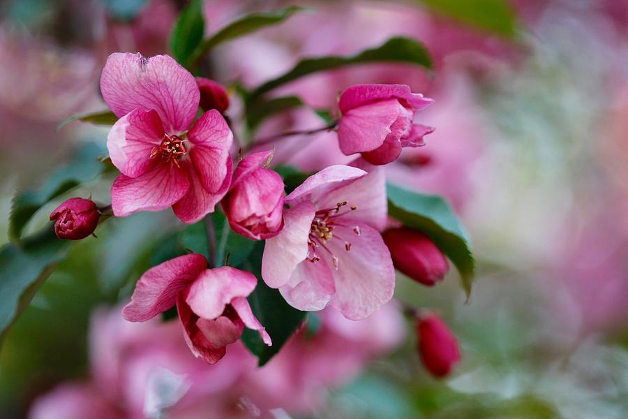 Spring Flowers Photograph - Apple Blossom by Shirley Kurian