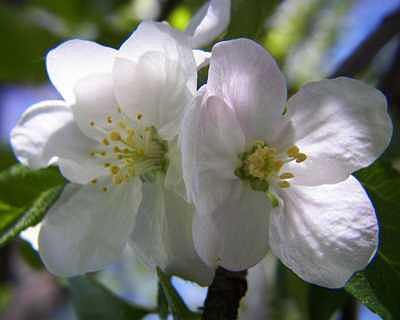 White Flower Photograph - Apple Blossom by Suzette Eichenberg