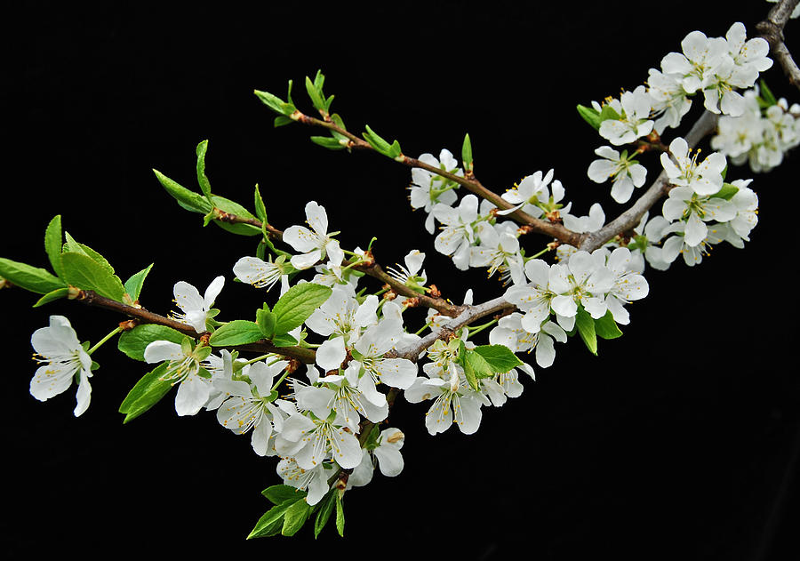 Apple Photograph - Apple Blossoms 2 by Michael Peychich