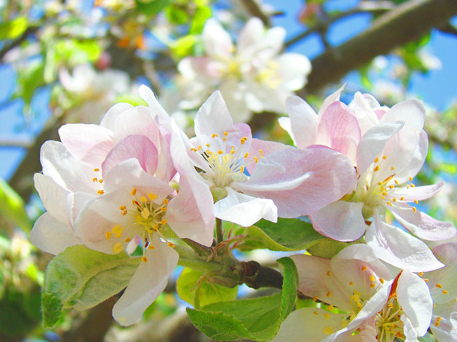 Apple Photograph - Apple Blossoms Art Prints Spring Trees Baslee Troutman by Baslee Troutman