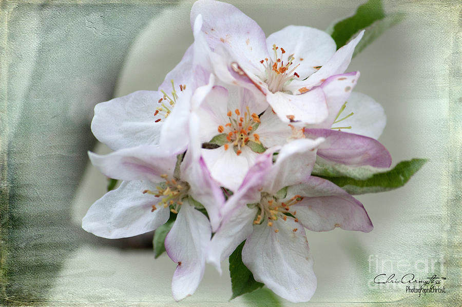 Apple Blossoms Photograph - Apple Blossoms From My Hepburn Garden by Chris Armytage