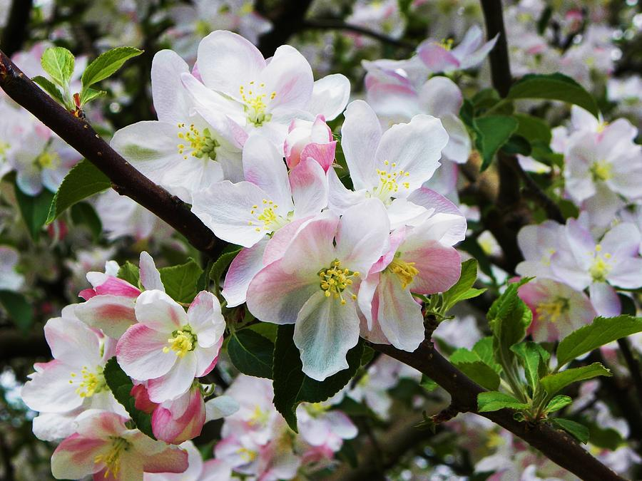 Apple Blossoms Photograph - Apple Blossoms II by Cindy Gacha
