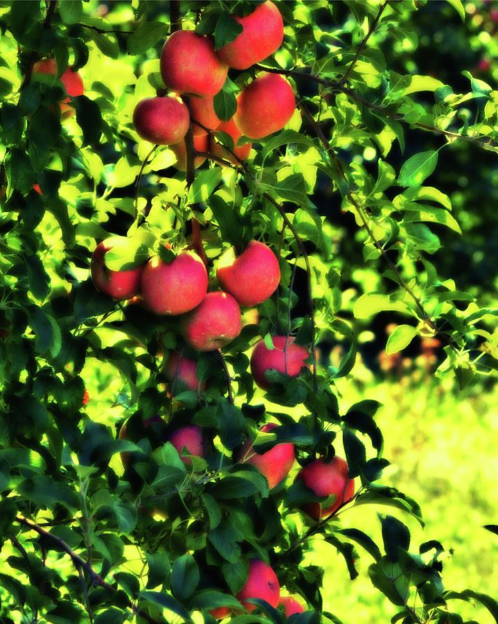 Bedspread Photograph - Apple Orchard 1 by John Feiser
