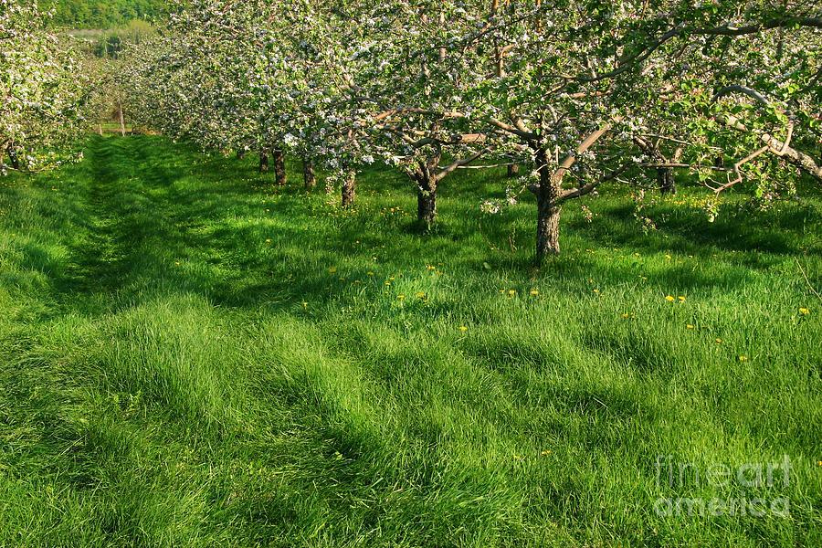 Agriculture Digital Art - Apple Orchard by Sandra Cunningham