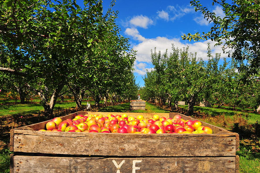Apple Picking Season Photograph by Catherine Reusch Daley