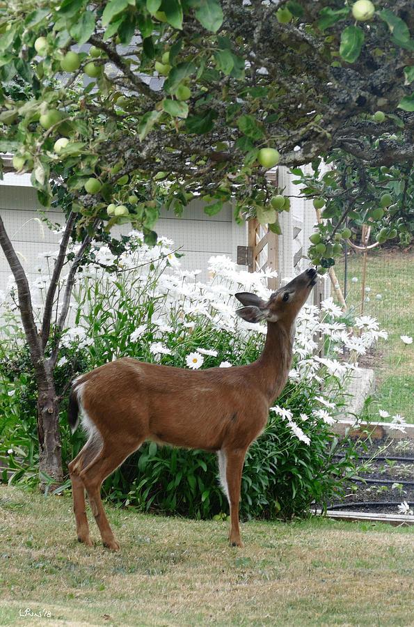 Deer Photograph - Apple Thief by Bill Linn