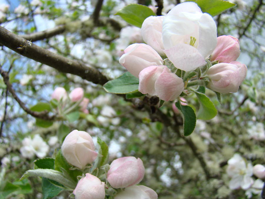 Apple Photograph - Apple Tree Blossoms Art Prints Apple Blossom Buds Baslee Troutman by Baslee Troutman