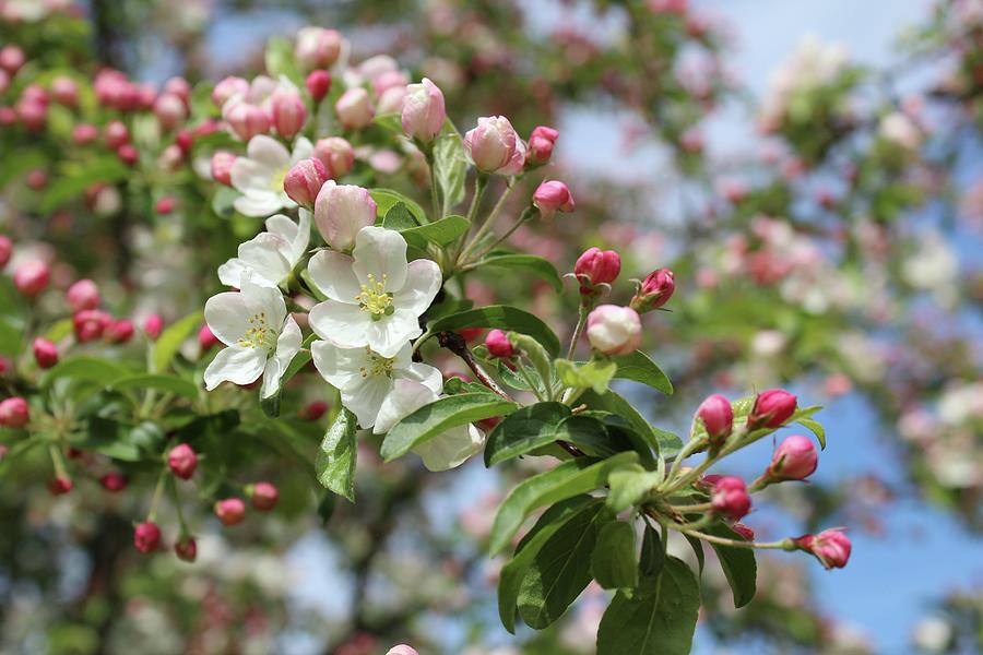 Apple tree blossoms by Radka Zimova King