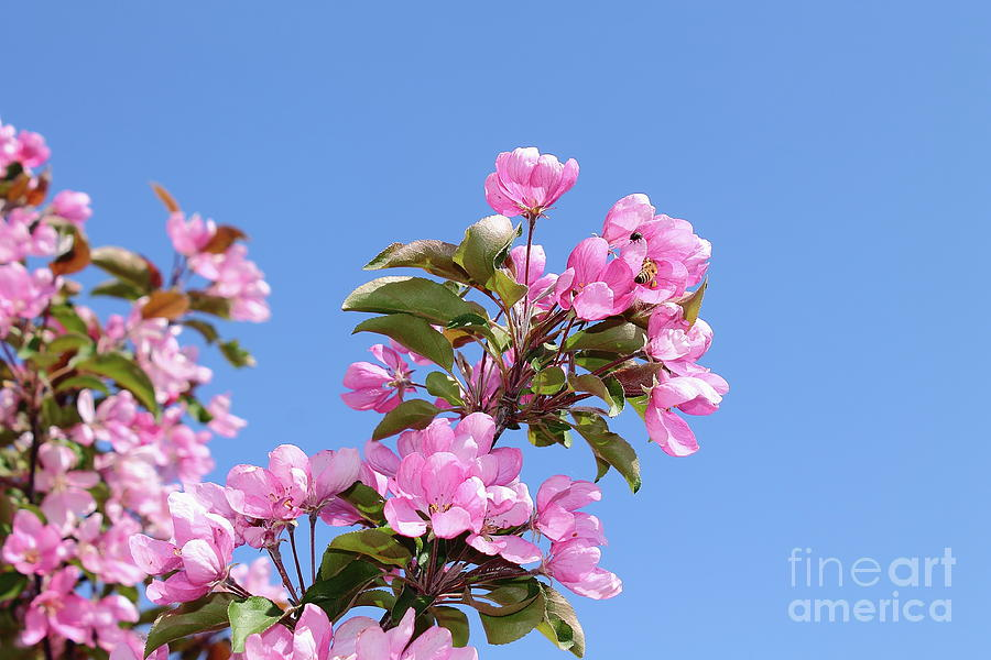Apple Tree Flowers Against The Blue Sky Background. Photograph
