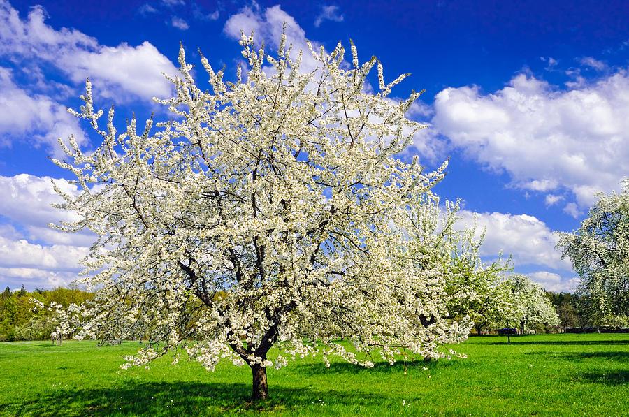 Apple Tree In Full Bloom In Spring In Germany Photograph