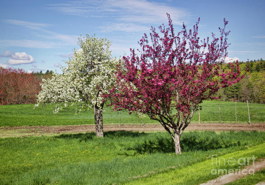 Apple Trees Photograph - Apple Trees by Diana Nault