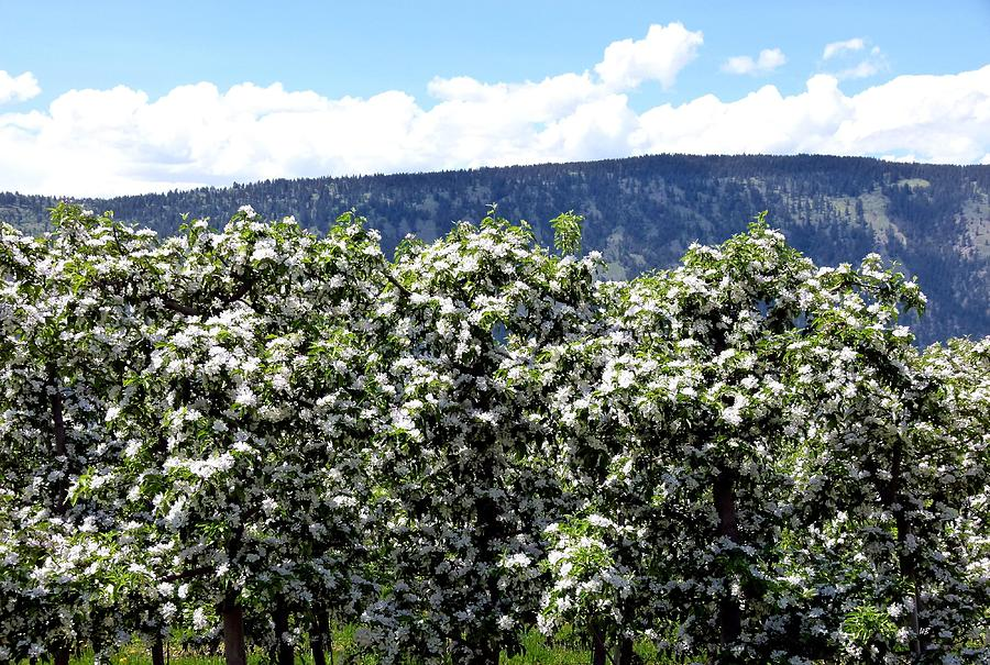 Apple Blossoms Photograph - Apple Trees In Bloom     by Will Borden