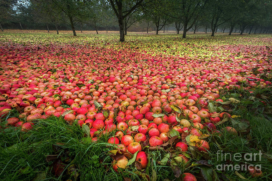 Apples Photograph by Sinclair Adair