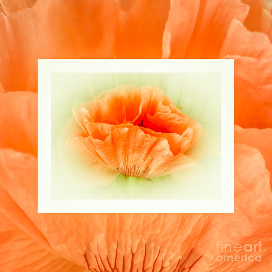 Dreamy Apricot Poppies Photograph