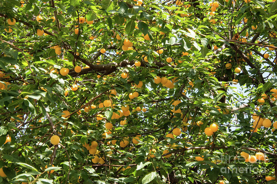 Princes Islands Photograph - Apricots by Bob Phillips