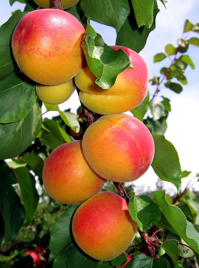 Apricots Photograph - Apricots by Will Borden
