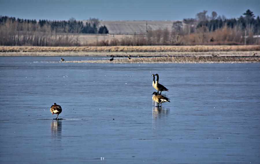 Geese Photograph - April Ice Capades by Bonfire Photography
