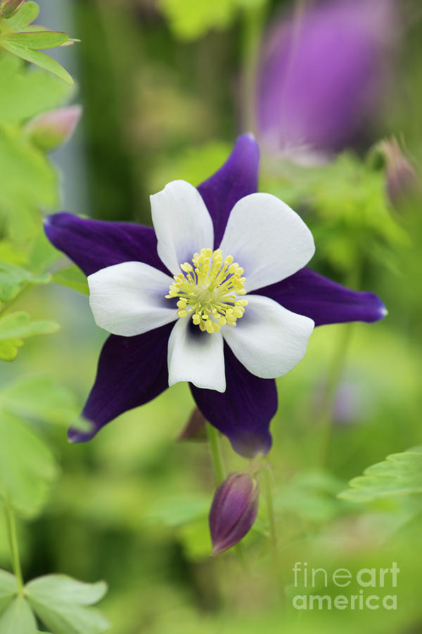 Columbine Photograph - Aquilegia Swan Violet And White by Tim Gainey