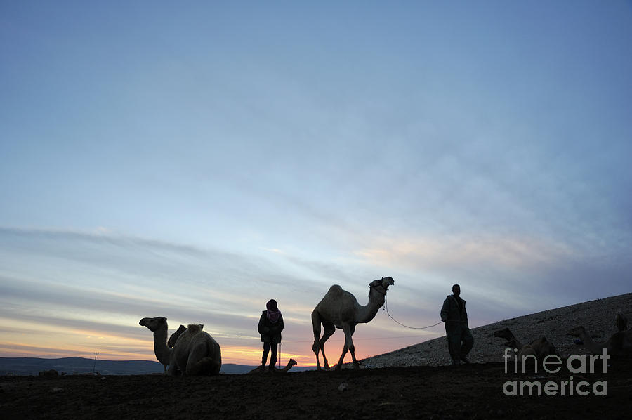 Middle East Photograph - Arabian Camel At Sunset by PhotoStock-Israel