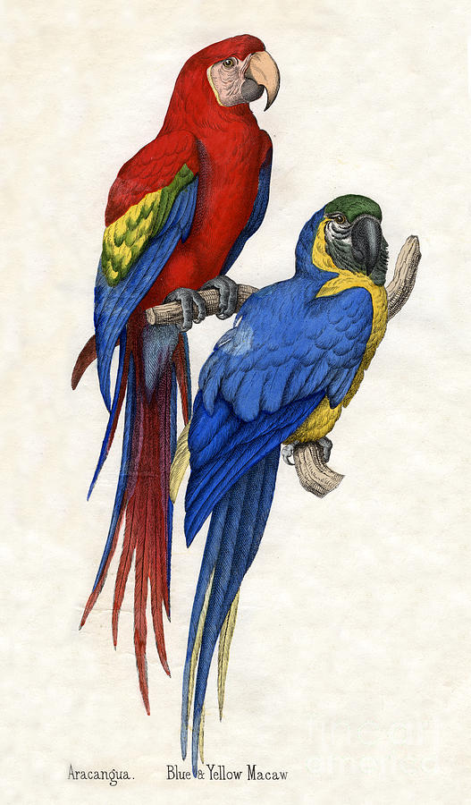 Macaw Drawing - Aracangua And Blue And Yellow Macaw by American School
