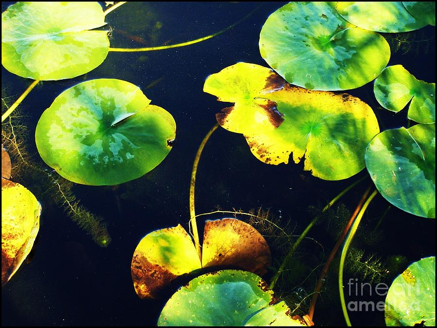 Lily Pads Photograph - Arboretum Morning by Anne McDonald