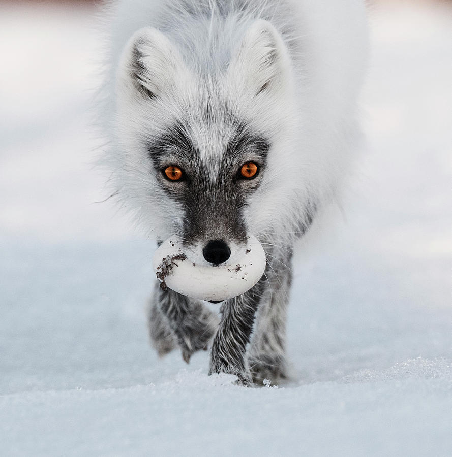 Arctic Fox and Snow Goose Egg by Sergey Gorskov