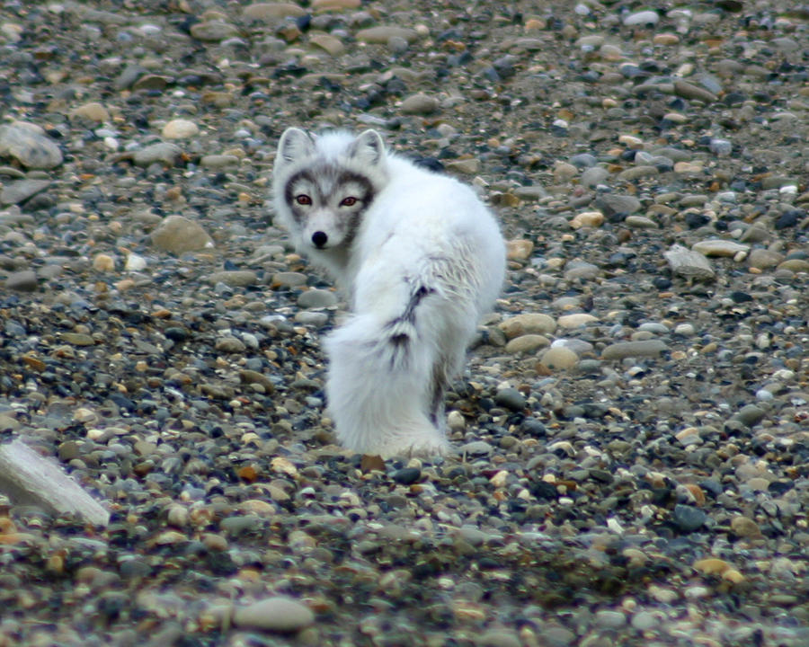 Alaska Photograph - Arctic Fox by Anthony Jones