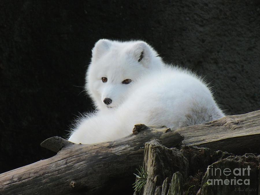 Animal Photograph - Arctic Fox by Heike Ward