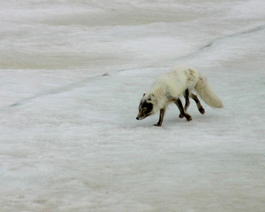 Arctic Fox Photograph - Arctic Fox On Ice by Anthony Jones
