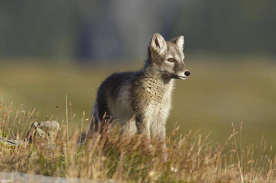 Nature Photograph - Arctic Fox Puppie by Karen Kolbeck