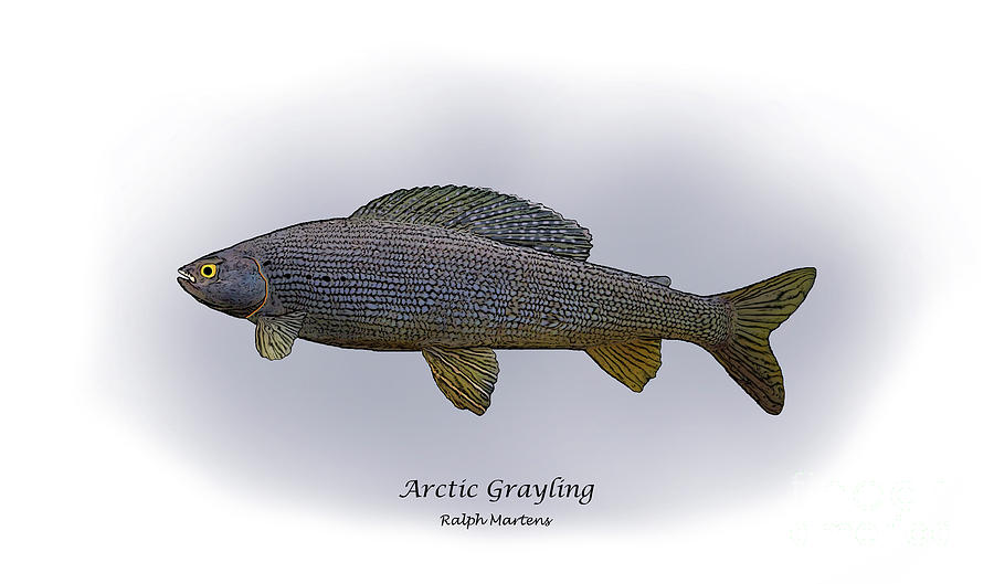 Grayling Painting - Arctic Grayling by Ralph Martens
