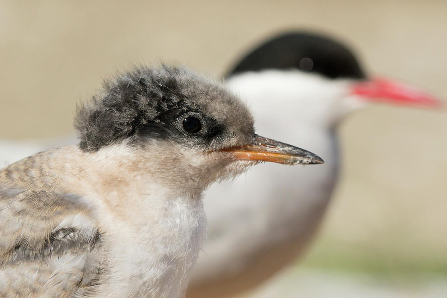 Arctic Tern Chick with Parent - Scotland by Karen Van Der Zijden