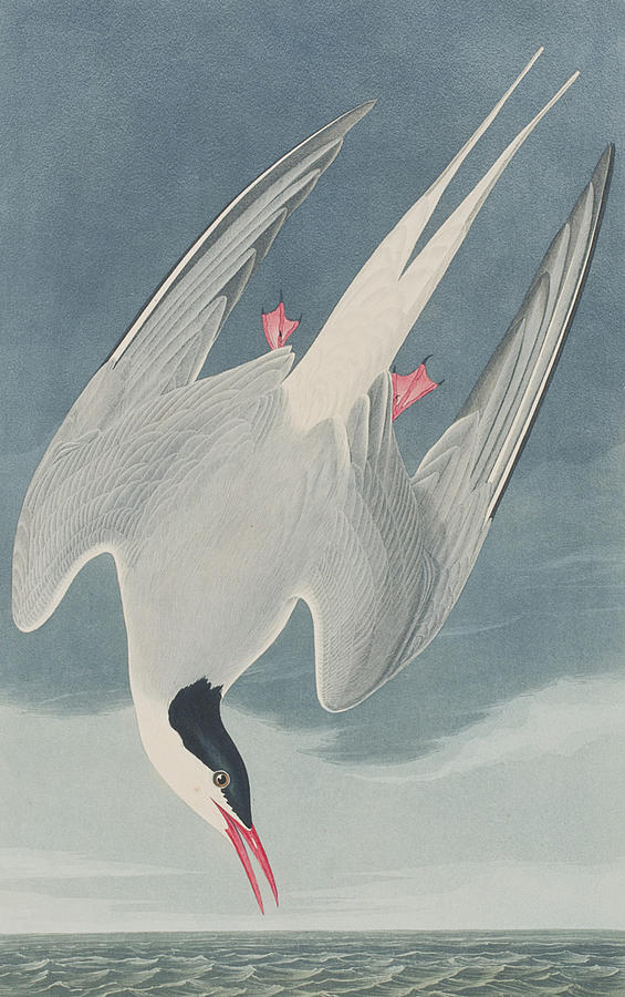 Arctic Tern Painting By John James Audubon