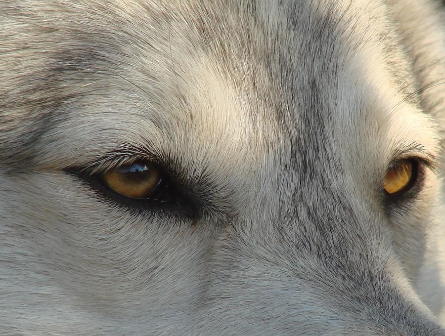 цвет волчьих глаз фото поделки могут отпугивать