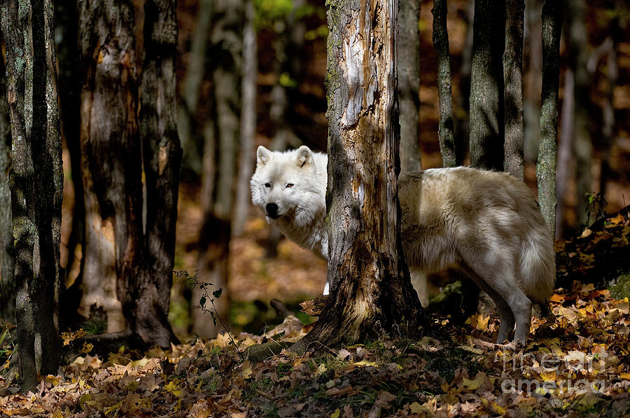 Michael Cummings Photograph - Arctic Wolf In Forest by Michael Cummings