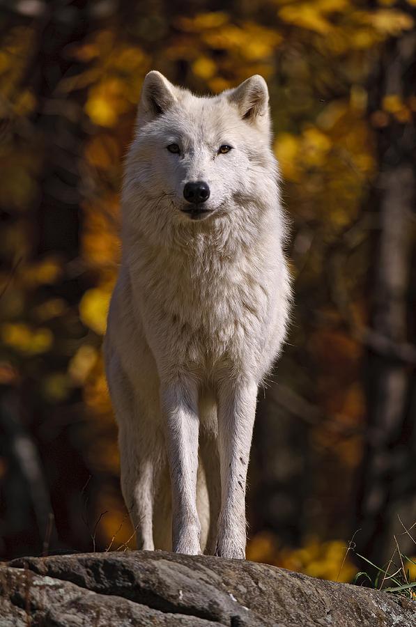 Michael Cummings Photograph - Arctic Wolf On Rocks by Michael Cummings