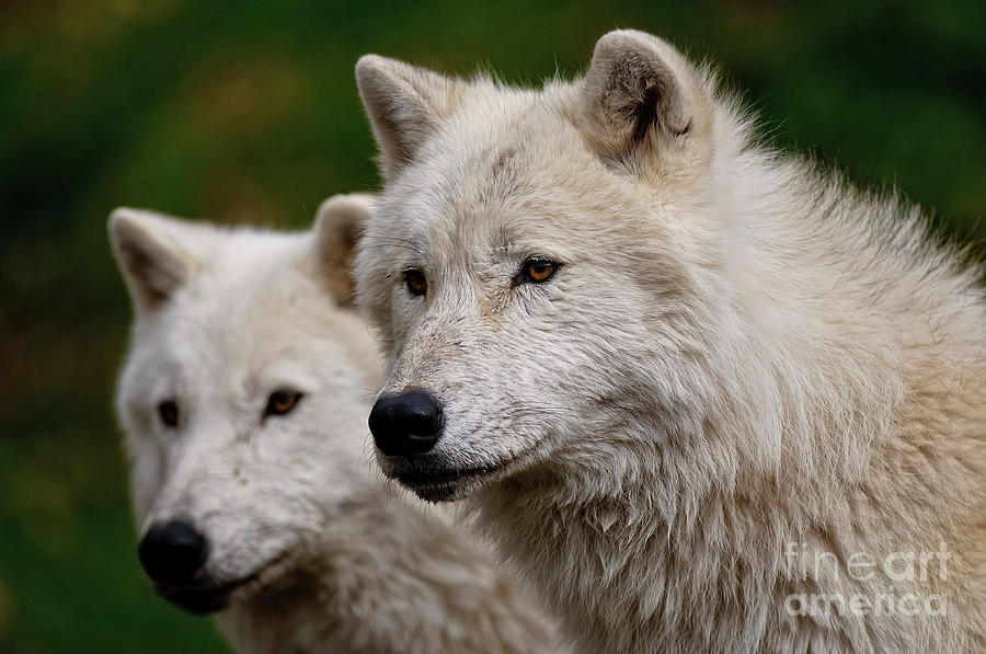 Wildlife Photography Photograph - Arctic Wolf Pair by Michael Cummings