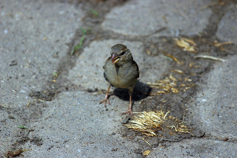 Sparrow Photograph - Are You Talking To Me? by Jake Danishevsky