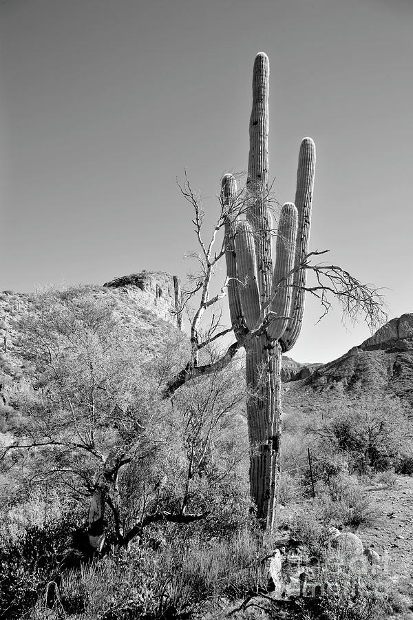 Desert Photograph - Arizona Saguaro by James Jones