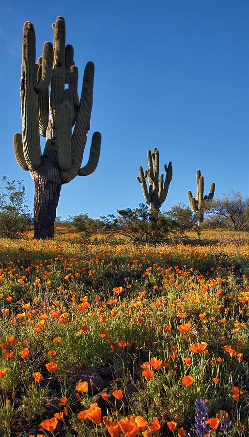Arizona spring flowers and blossoms with saguaro cactus photograph saguaro cactus photograph arizona spring flowers and blossoms with saguaro cactus by dave dilli mightylinksfo