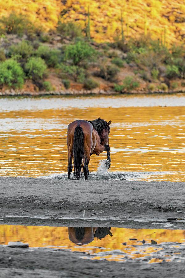 Equine Photograph - Arizona Wild Horse Playing In Water by Susan Schmitz